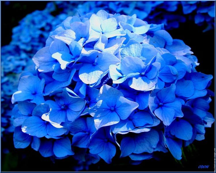 Conseils pour avoir un hortensia bleu jardinage - Terre pour hortensia bleu ...